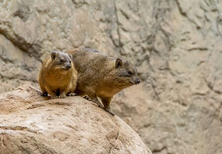 rock hyrax on rock formation in stony ambiance