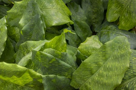 closeup shot showing some green Maranta plant leaves