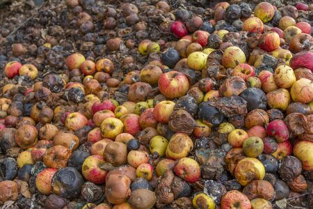 full frame picture showing lots of rotting apples