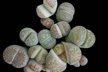 some pebble plants in black back seen from above