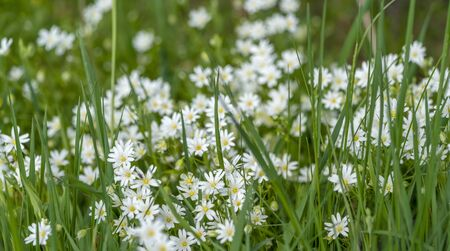 full frame starwort flowers closeup in grassy ambiance