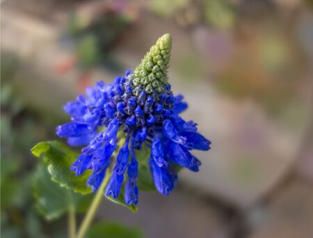 exotic blue flowerhead in natural ambiance