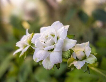 white flowerheads in natural ambiance