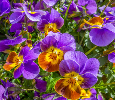 full frame colorful pansy flowers closeup