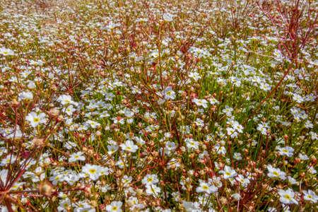 full frame dense white flower vegetation in sunny ambiance