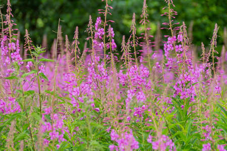lots of pink flowers in natural ambiance Stockfoto