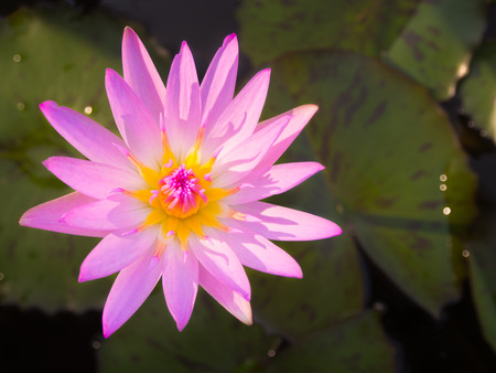 beautiful water lily or lotus flower is complemented by water background. saturated colors and vibrant detail