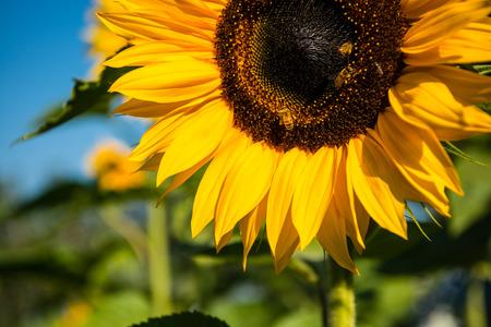 선택적 포커스 아름 다운 노란 해바라기 피와 꿀 수집 꿀 여름 시즌 동안 정원에서의 사진.