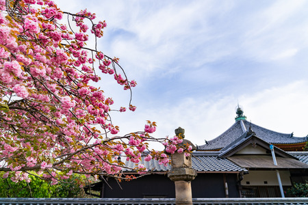 a picture of the Japanese traditional temple with beautiful pink sakura tree