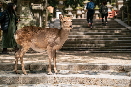 cute deer standing on the stairs and waiting for someone to feed it in Nara Japan