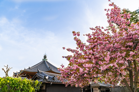 Japanese traditional temple with beautiful pink sakura tree in a sunny day