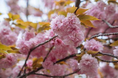 Close up of beautiful pink sakura flowers in the morning. Cherry blossom with yellow leaves on the tree in spring. amazing flora in japan mint osaka. Reklamní fotografie - 112052350