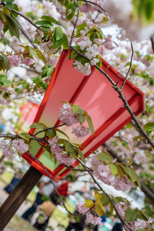 Close up of red japanese lantern standing in the park with beautiful pink sakura flowers surrounding. Real cherry blossom in japan mint in osaka. best places to visit in spring.