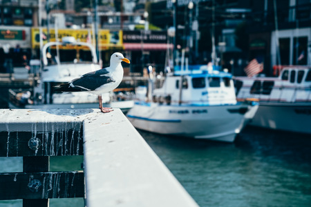 Seagull in port standing on the wooden white handrail resting. fishing boats and yachts moored in the background on the clean water in pier 39 san francisco america. wild freedom lifestyle seabird. Imagens