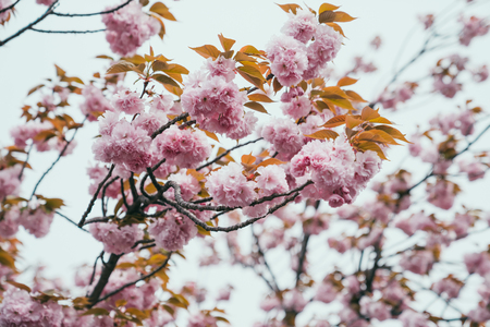 Beautiful sakura flower on tree with yellow green leaves in spring. pink cherry flora blossom on blue sky in osaka japan outdoor in park with white background. Wild Himalayan plant in japanese park. Reklamní fotografie