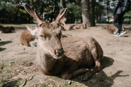 closeup shot of cute deer bathing in the sunshine in nara park. the sacred animal in nara, japan, symbol of the city. animal theme and wildlife concept Reklamní fotografie
