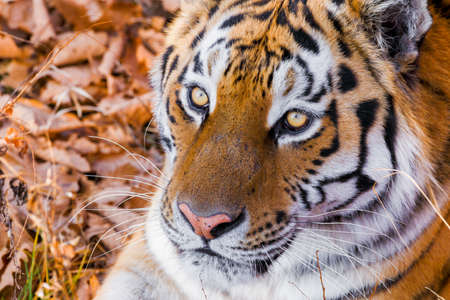 The Red Book Amur tiger lies on dry grass in the autumn forest. Close-up.