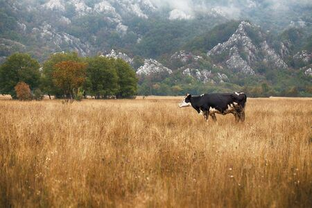 Cows and Bulls Grazing on Meadows in Portugal, Vintage Style photo