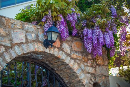 climbed: Wisteria climbed on a roof, purple flowers on the arch