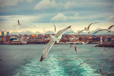 Gulls in Istanbul photo from the ferry , a flock of seagulls