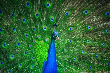 pavo real: Retrato de hermoso pavo real con plumas