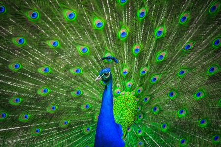cockerel: Portrait of beautiful peacock with feathers out