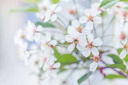 cereza: Rama de cerezo en flor de aves en la primavera