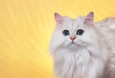 White cat with green eyes on a yellow background