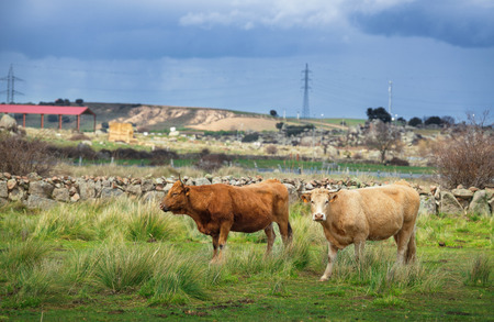 Cows and bulls on pasture, lush green grass in the countryside Stock Photo