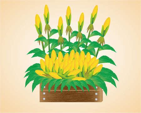 corncob: Fresh corn from the farm