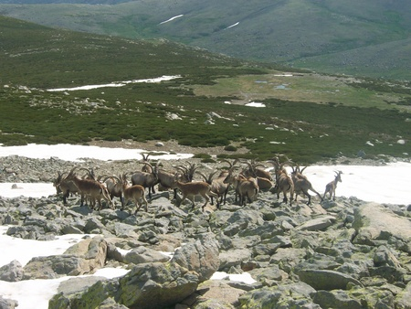 Herd of ibex, Capra pyrenaica in Sierra de Gredos