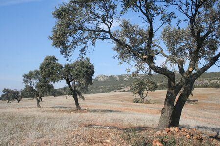 quercus: Quercus, Chaparral, oak tree, field Stock Photo