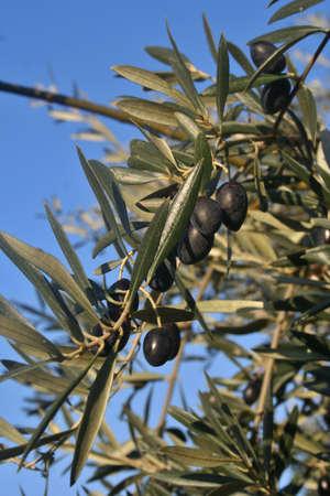 arbol: las aceitunas del olivo