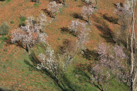 Almendros en flor Paisaje