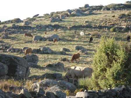 Vacas pastando en las montañas Foto de archivo - 12392923