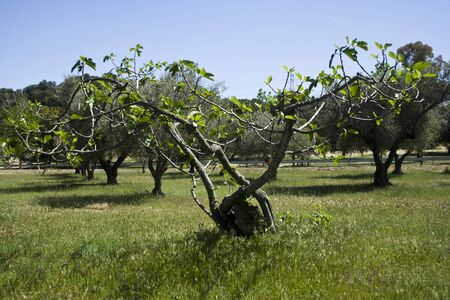 feigenbaum: Feigenbaum auf dem Feld, Cazalegas, Toledo