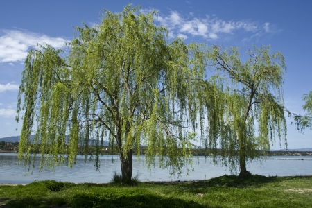 willow: Willows in the marsh Cazalegas, Toledo