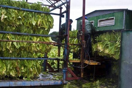 tabaco: La plantaci�n de tabaco, Tabaco Virginia