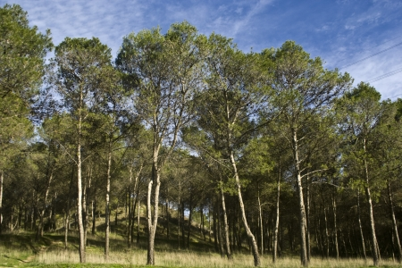Pine forest, under a sky in the mountains Stock Photo