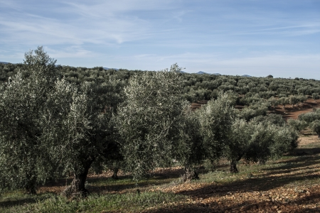 olives, field of olive trees Stock Photo