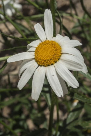 flowered: Bellis perennis, commonly called Chiribita, common daisy, primrose pascueta or herbaceous plant is widely used for decorative effects mixed with grass, for their resistance to the harvest