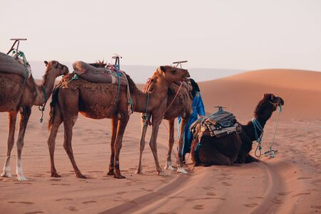 Camels and guide in the Desert Sahara. Sand and sun.