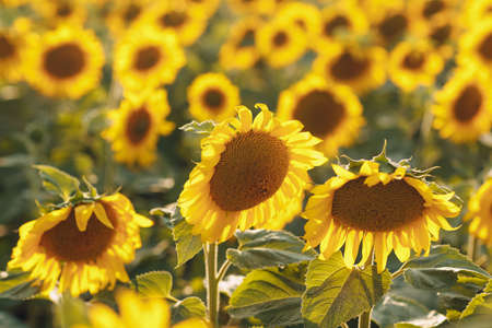 Field of blooming sunflowers. Sunflower oil source concept Stok Fotoğraf
