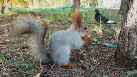 Squirrel eating a peanut at outdoors grass in park