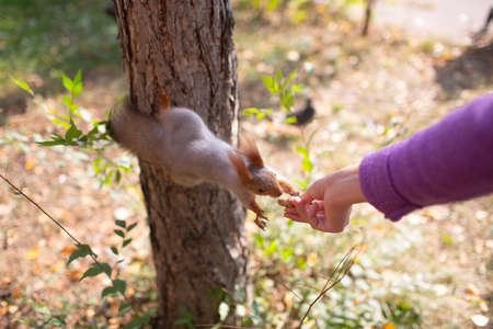 Squirrel eating a peanut at outdoors grass in park from hand Stok Fotoğraf