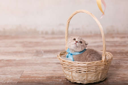Scottish fold cat on beige background. Cute little kitty.