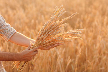 Man farmer holds sheaf of wheat ears in cereal field at sunset. Farming and agricultural harvesting,