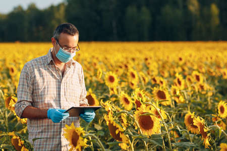 Man farmer agronomist in gloves and face mask at sunflower field with tablet checking harvest