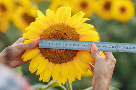 Hands with ruler checking size of flower at sunflower field. Harvesting and farming.