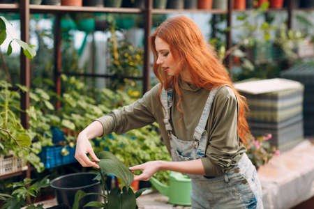 Home gardening concept. Young woman plants floral in greenhouse.